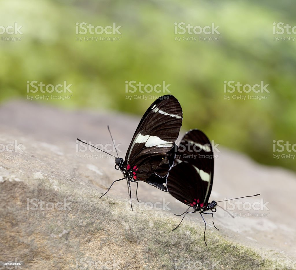 Sara Longwing Butterfly (Heliconius sara) stock photo