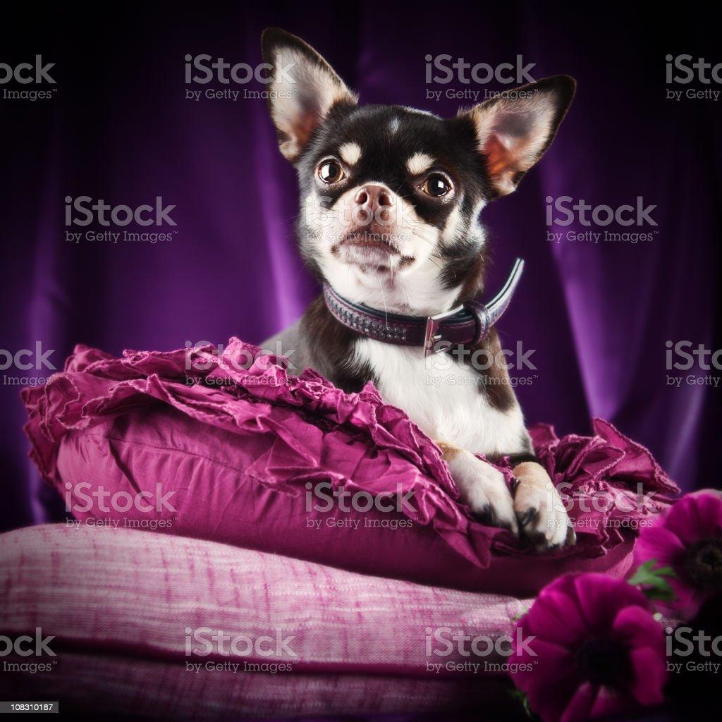 Sara the chihuahua on a purple arrangement stock photo
