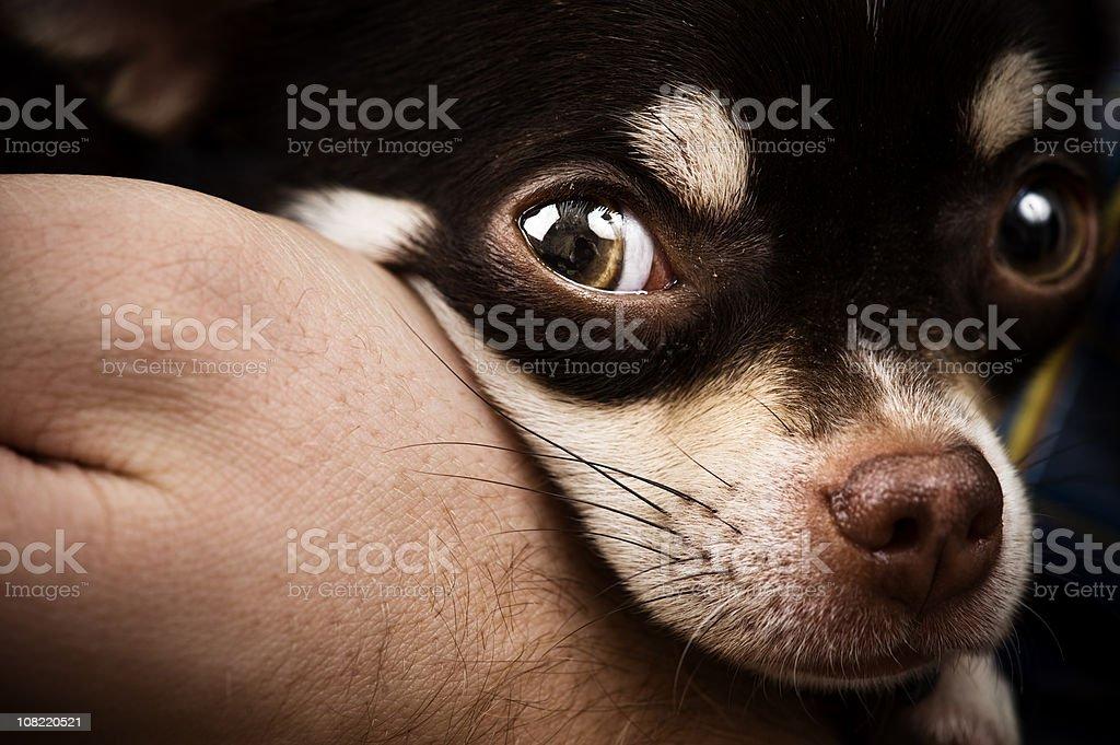 Sara the Chihuahua stock photo
