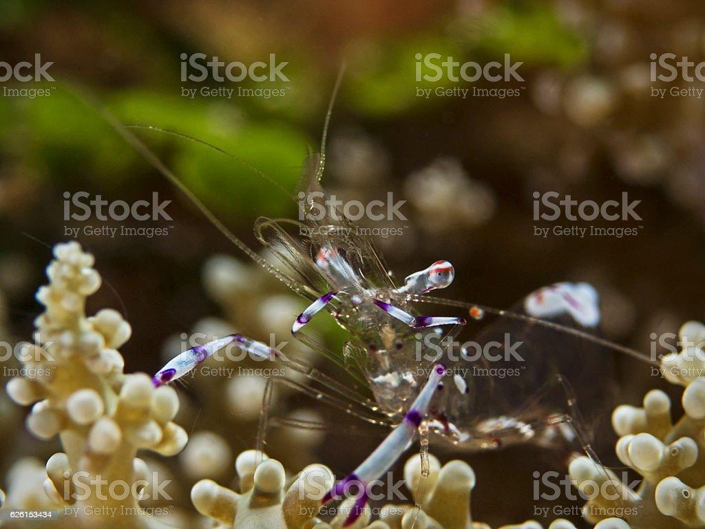 Sarasvati anemone shrimp, Anemonen-Garnele (Ancylomenes sarasvati) stock photo