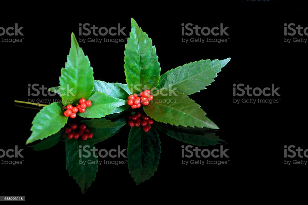 Sarcandra glabra with red small fruits stock photo