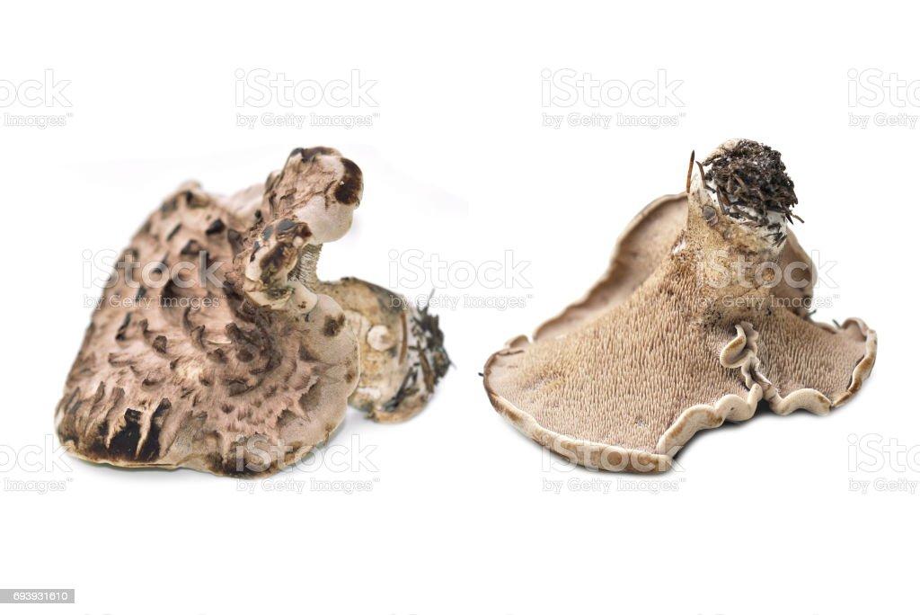 Sarcodon imbricatus stock photo
