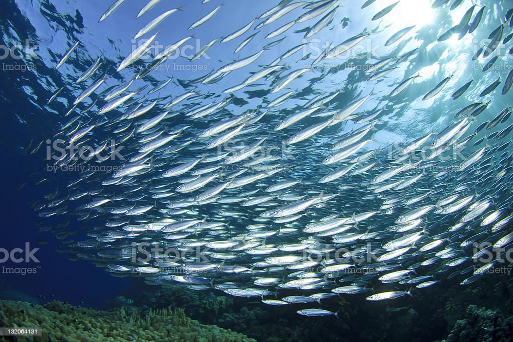 Sardine School stock photo