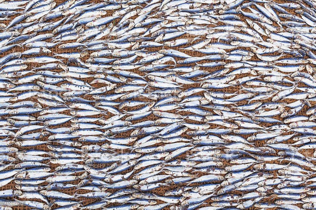 Sardine Stockfish royalty-free stock photo