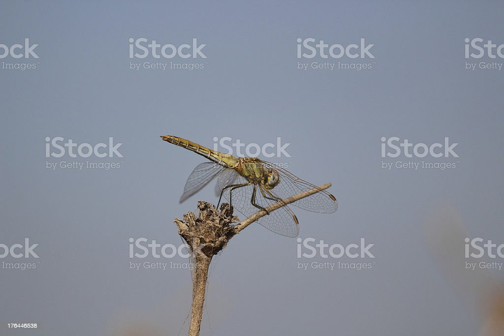 Sardinian Dragonfly side view royalty-free stock photo