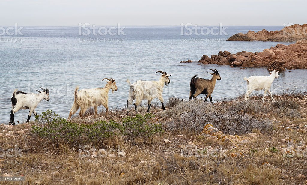 Sardinian goats marching in line stock photo