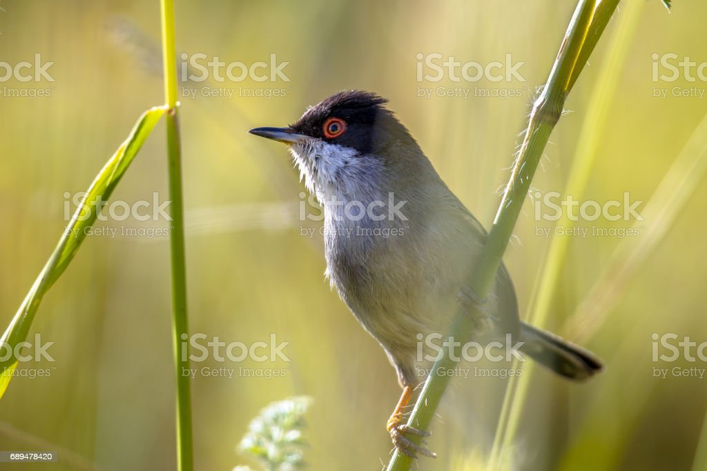 Sardinian warbler perched on grass stem and looking to side stock photo