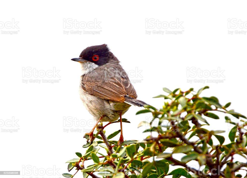 Sardinian warbler stock photo