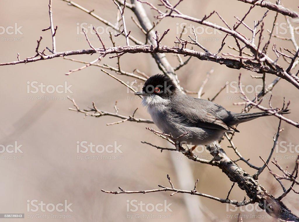 Sardinian Warbler (Sylvia melanocephala) stock photo