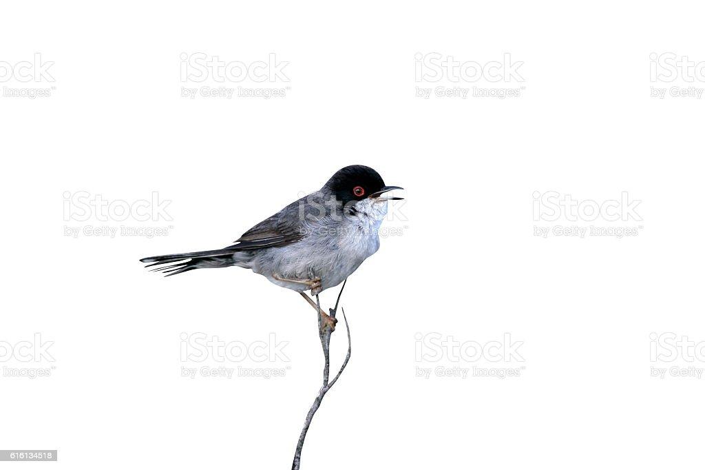 Sardinian warbler ,Sylvia melanocephala stock photo