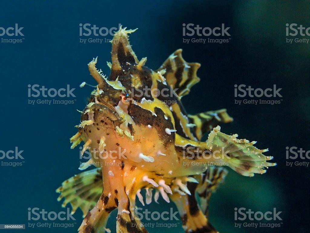 Sargassum anglerfish (Histrio histrio) stock photo