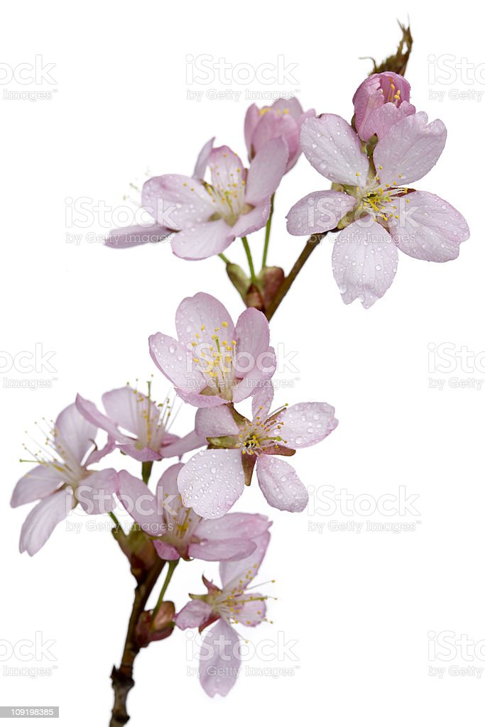 Sargent cherry branch with flowers (Prunus sargentii) stock photo