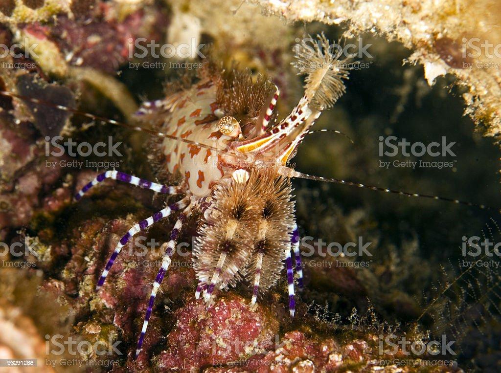 Saron shrimp stock photo