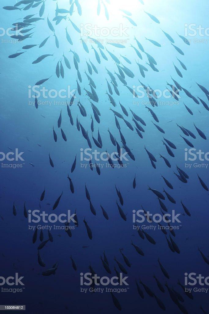 Sarpa Salpa fishes stock photo