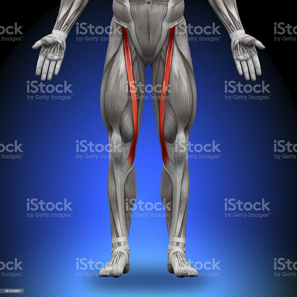 Sartorius - Anatomy Muscles stock photo