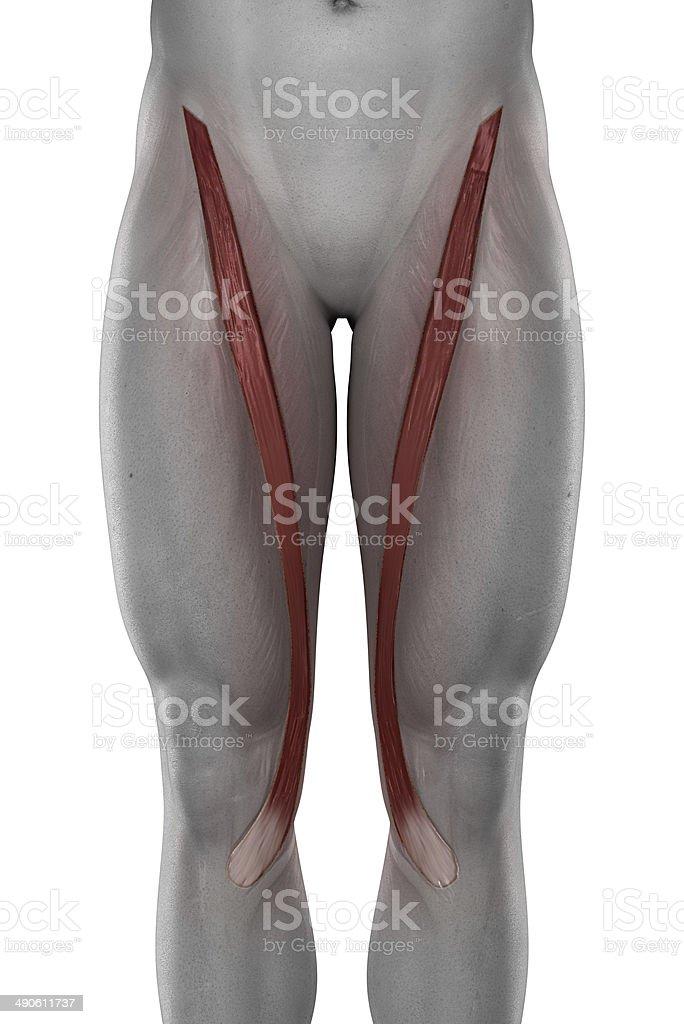Sartorius male muscles anatomy anterior view isolated stock photo