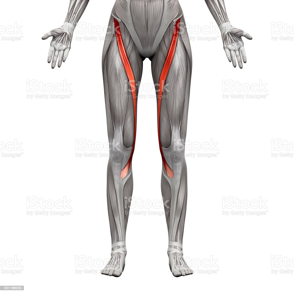 Sartorius Muscle - Anatomy Muscles isolated on white stock photo