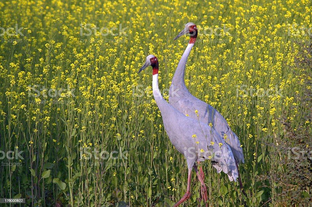 Sarus Crane Pair royalty-free stock photo