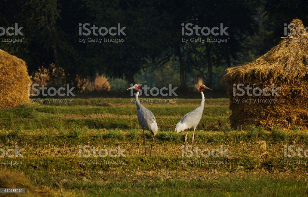 Sarus Crane stock photo