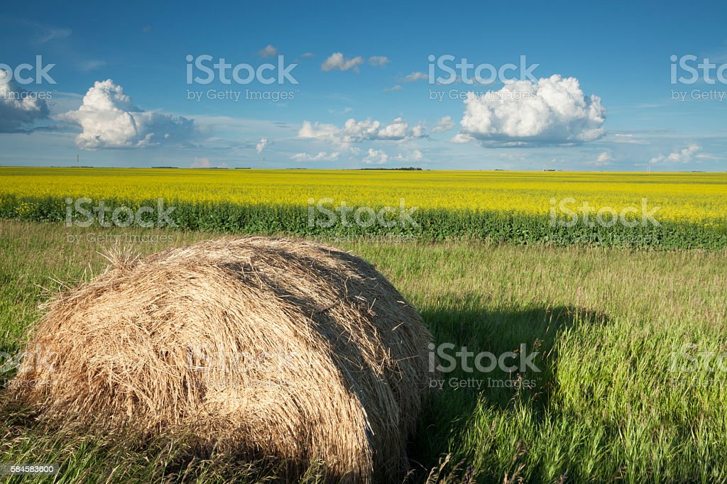 Saskatchewan Canola Fields stock photo