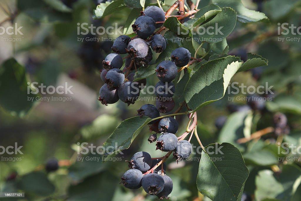 Saskatoon Berries stock photo