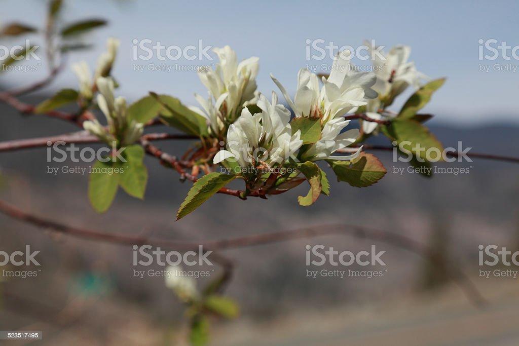 Saskatoon berry (Amelanchier alnifolia) blossoms in spring. stock photo