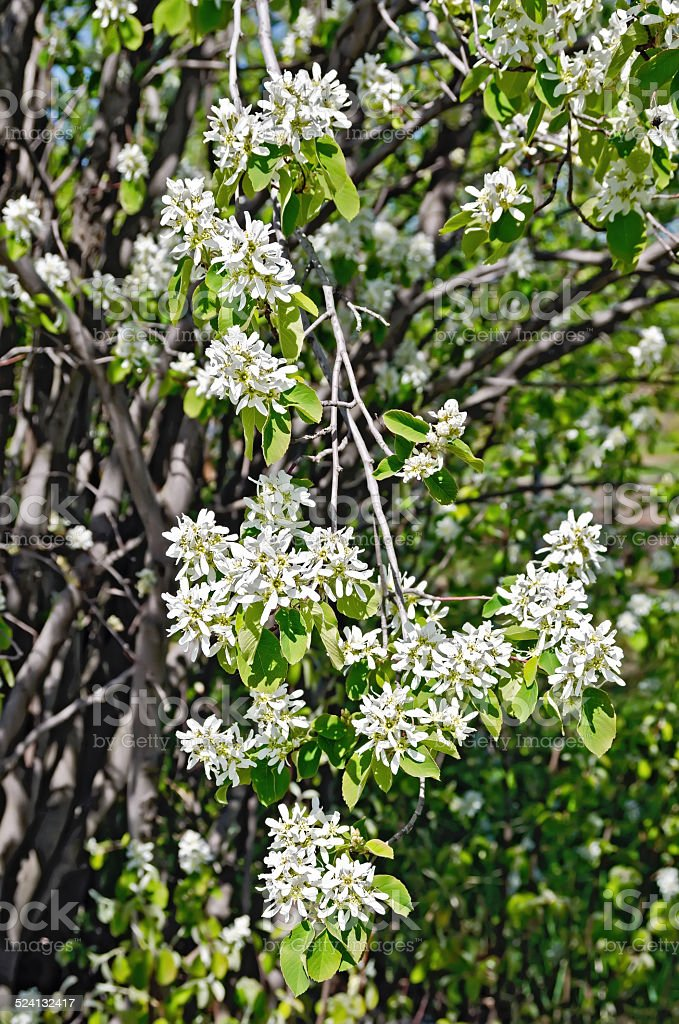Saskatoon Flowers stock photo
