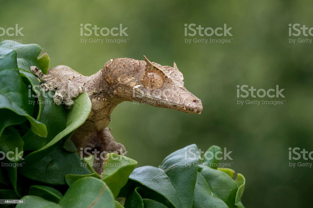 Satanic Leaf Gecko lurking in Tree royalty-free stock photo