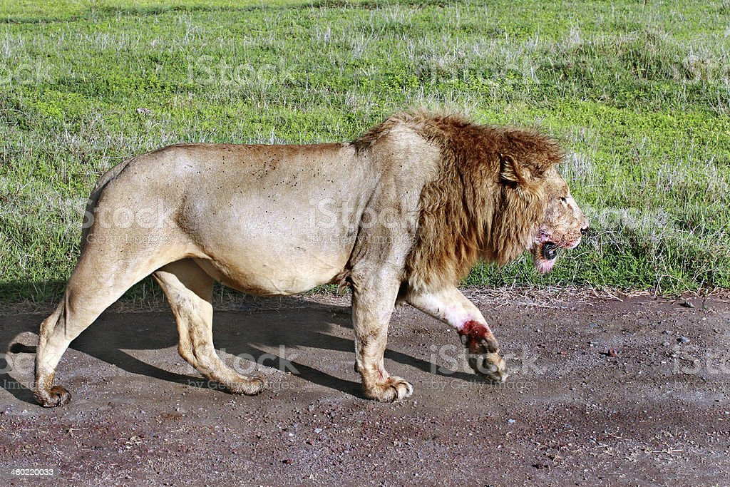 Satiated lion returned from successful hunt, stained with blood sacrifices. stock photo