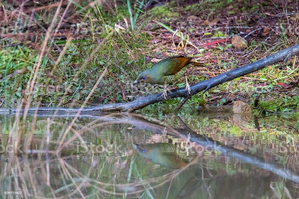 Satin Bower Bird stock photo