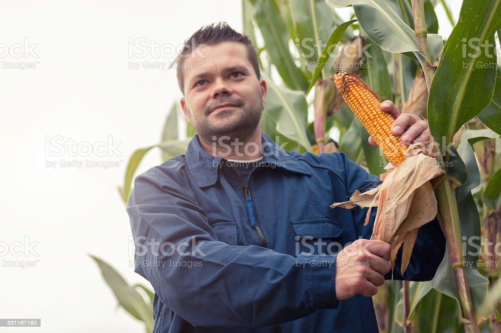 Satisfied Farmer holding corn stock photo