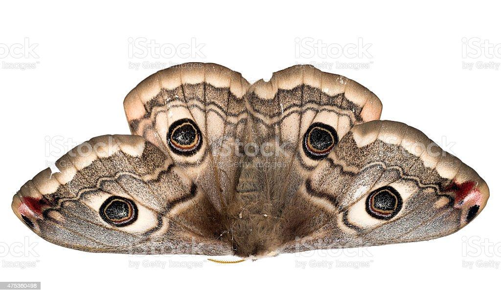 Saturnia pavonia. Small emperor moth. Female. Found dead by road stock photo