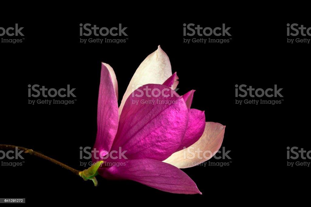 Saucer Magnolia stock photo