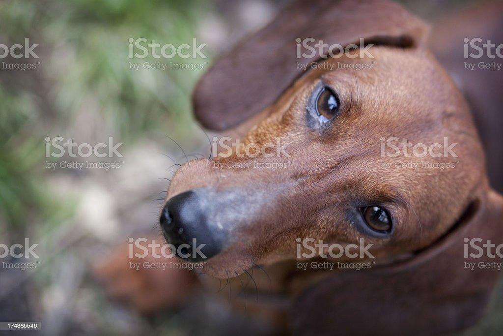 sausage dog royalty-free stock photo