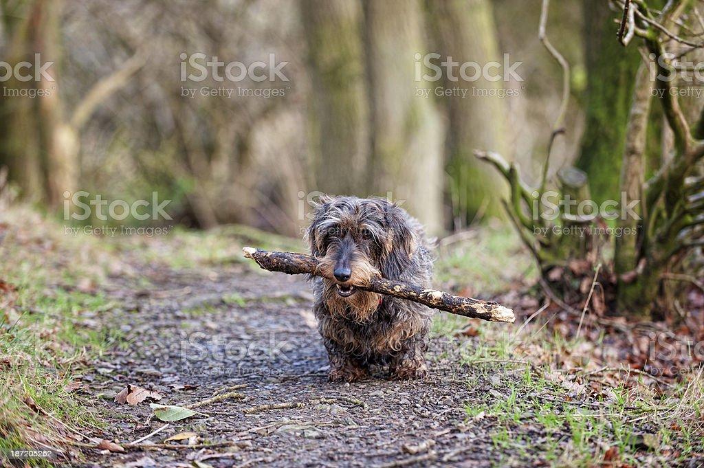 Sausage on a stick! royalty-free stock photo