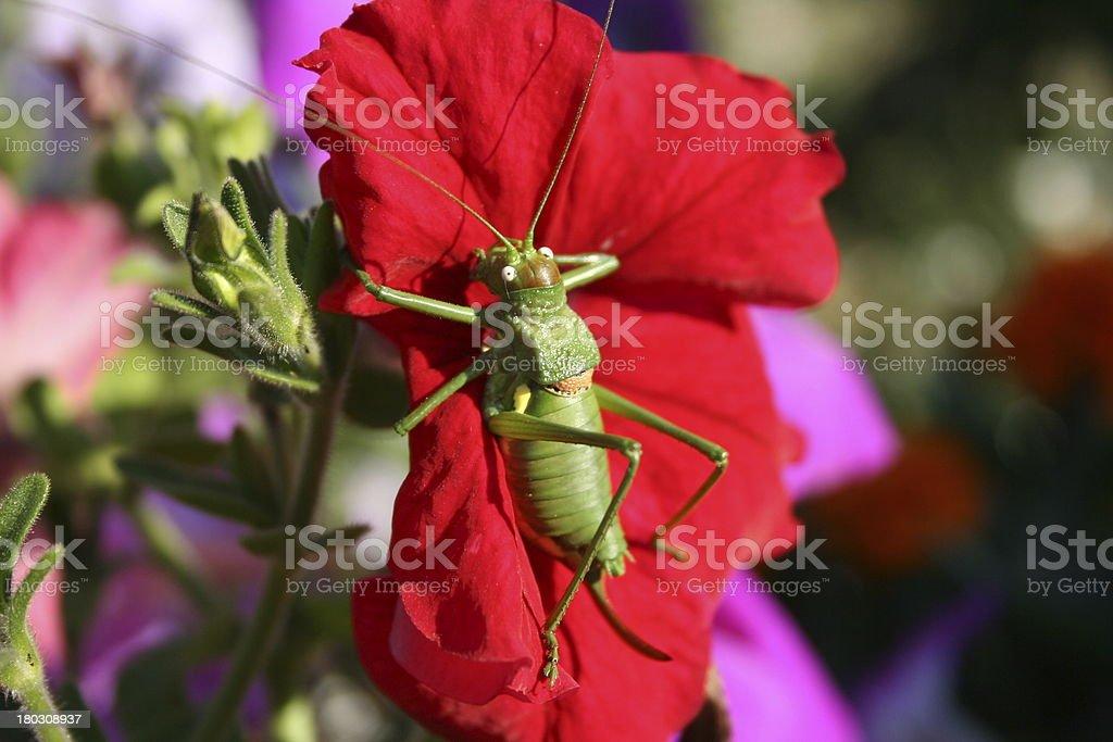 Sauterelle se pr?lassant sur une fleur royalty-free stock photo
