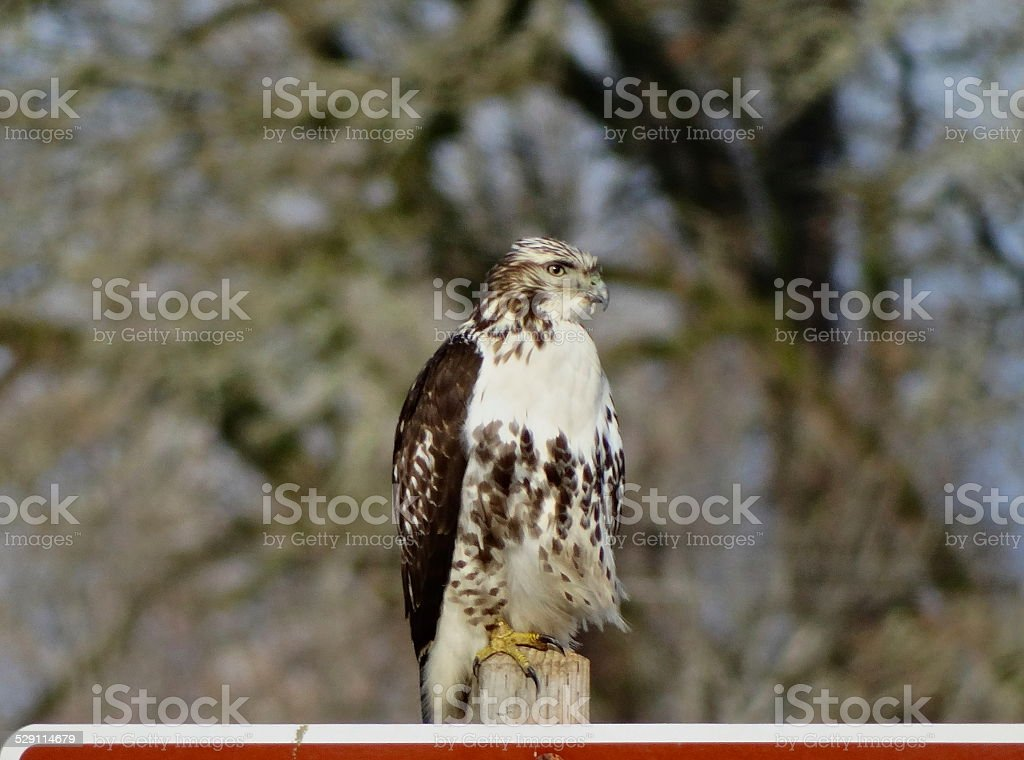 Sauvie Island Redhawk stock photo