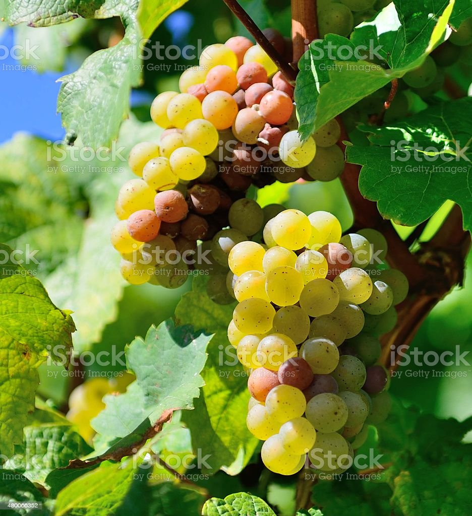 Sauvignon Blanc - Grape stock photo