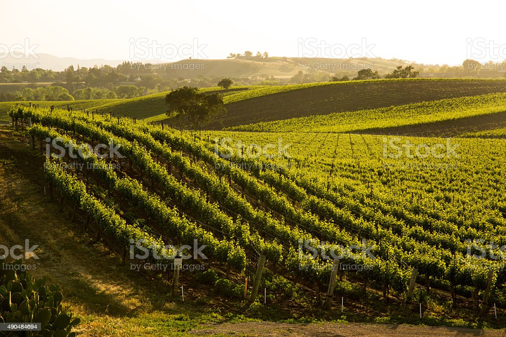 Sauvignon Blanc Vineyard Grapvines On Hillside, Santa Ynez, CA stock photo