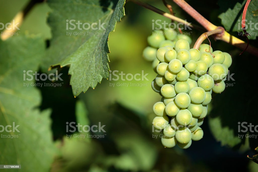 Sauvignon blanc white wine grapes vineyard bordeaux france closeup stock photo