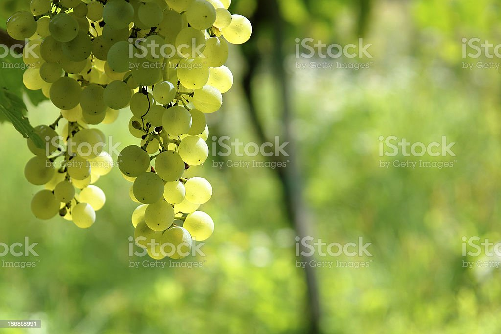 Sauvignon grapes stock photo