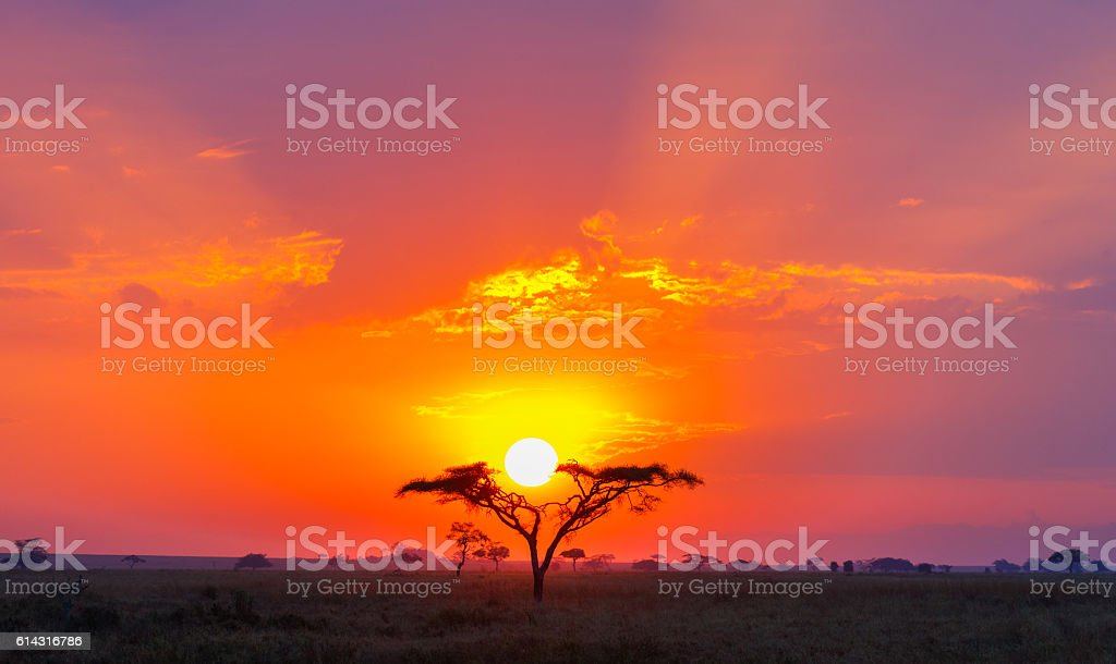 Savanna Sunrise and Acacia Tree in Africa's Serengeti stock photo