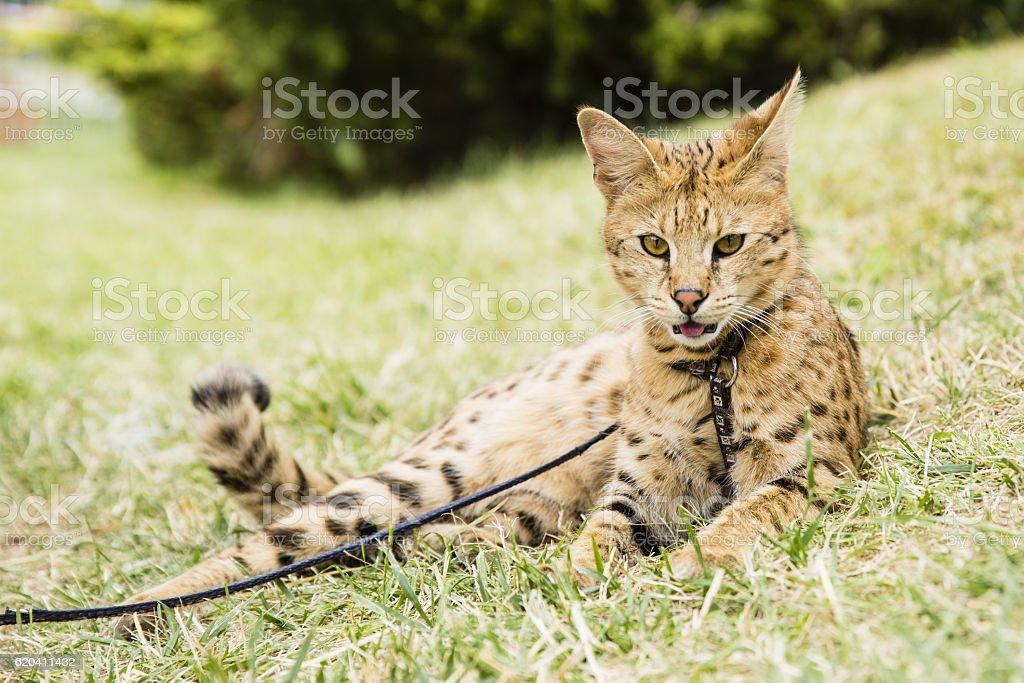 Savannah cat stock photo
