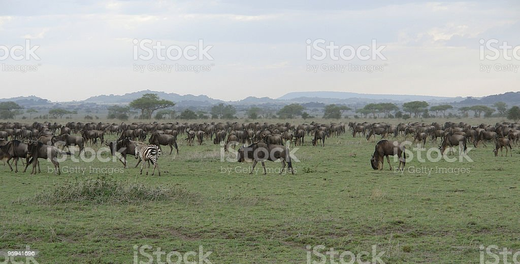 savannah scenery with a flock of Blue Wildebeests royalty-free stock photo