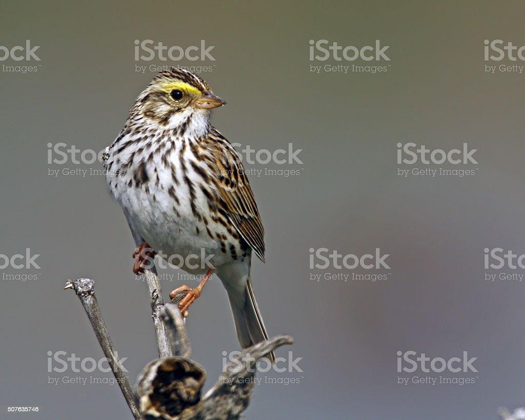 Savannah Sparrow Adult stock photo