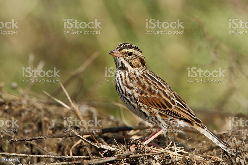 Savannah sparrow (Passerculus sandwichensis), Anahuac NWR, Texas, USA stock photo