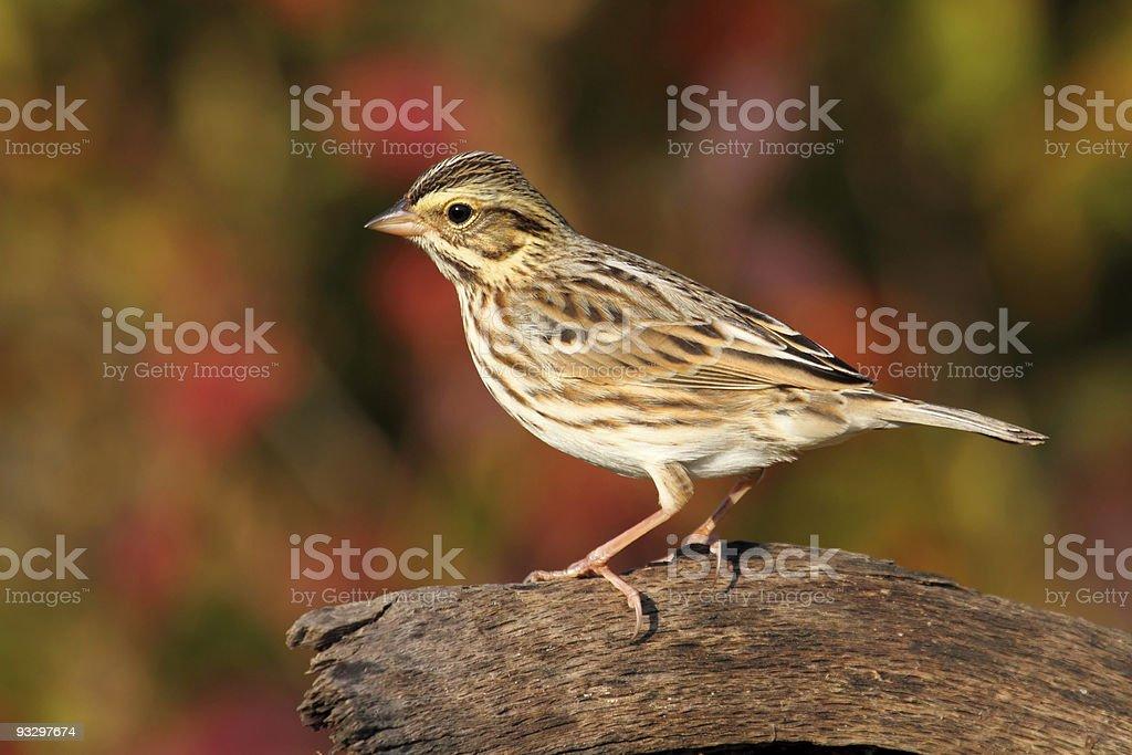 Savannah Sparrow in Autumn stock photo