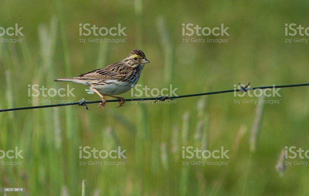 Savannah sparrow in spring. stock photo