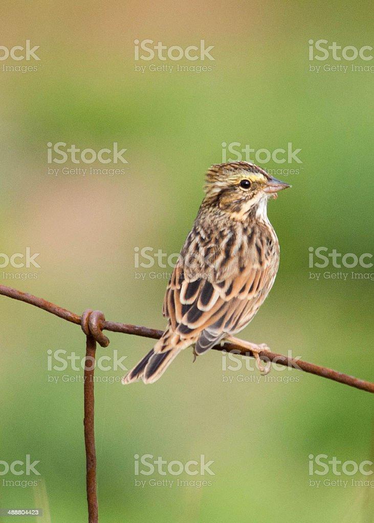 Savannah Sparrow on a fence stock photo