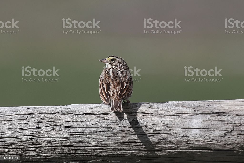 Savannah Sparrow (Passerculus sandwichensis) on a fence rail. stock photo
